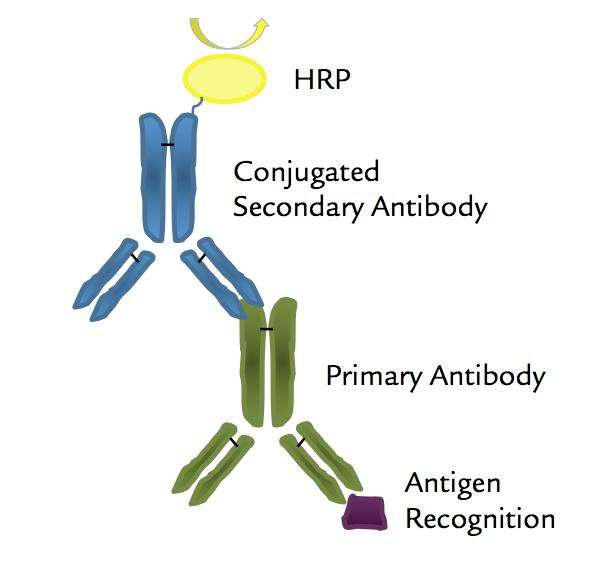 Mitochondrial Antibody/Protein Labeling