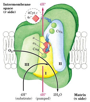 Determination of Mitochondrial Respiratory Chain Complex