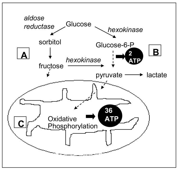 Mitochondrial Glucose Metabolism
